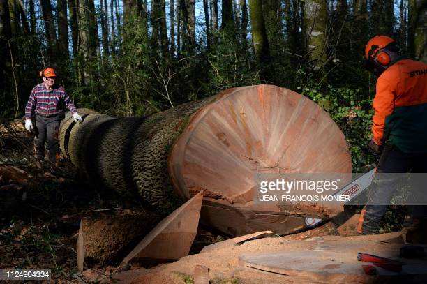 Two woodcutters work on a 357yearold Sessile oak tree after it was felled after an hour and a quarter of pruning and half an hour of sawing in the...
