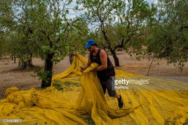 Two workers during the almond harvest in the Molfetta, Italy countryside in Molfetta, Italy on 28 August 2021. According to the latest estimates, the...