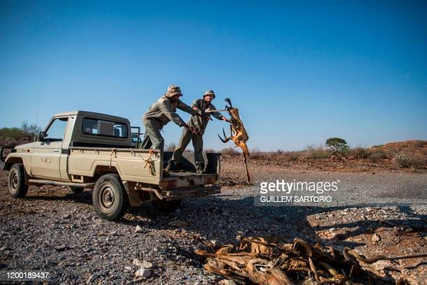 Two workers from the Thuru Lodge Game farm dispose of the carcass of a dead animal on the Thuru Lodge Game farm near Groblershoop on January 16 2020...