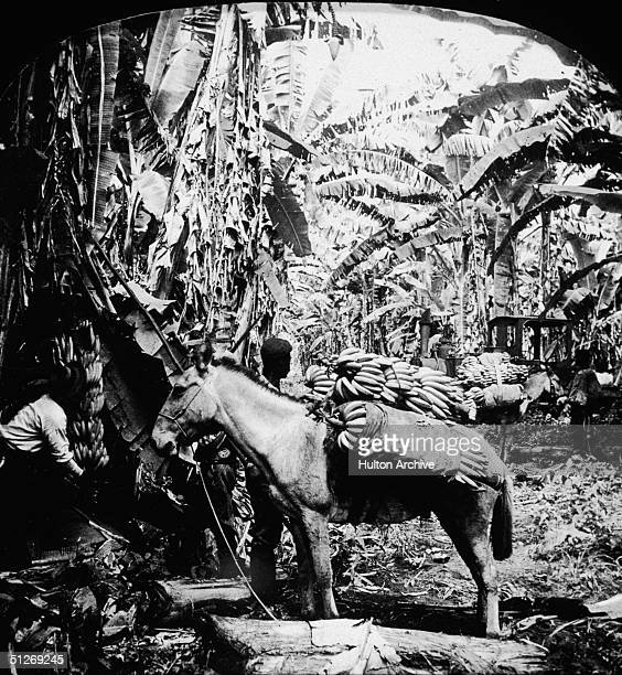 Two workers load a donkey or mule with bananas during the harvest on a banana plantation in Costa Rica, early 1900s.