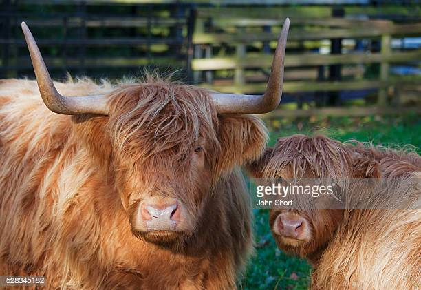 two yak in a fenced area; scottish borders scotland - yak stock pictures, royalty-free photos & images