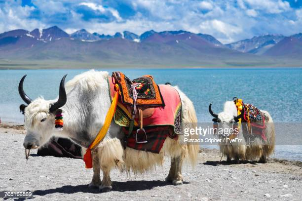 two yaks on lakeshore in tibet - yak stock pictures, royalty-free photos & images