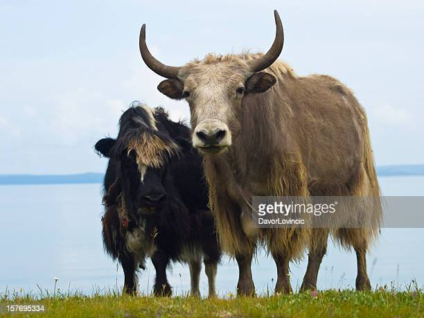 two yaks - yak stock pictures, royalty-free photos & images