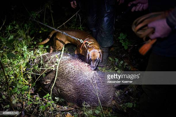 Two yearold Bavarian bloodhound 'Willie' has found a wounded European boar after it was shot by a gamekeeper close to the citycentre on November 12...