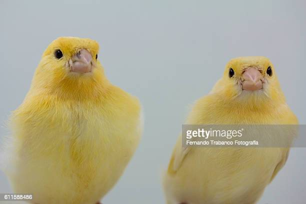 Two yellow birds , canaries