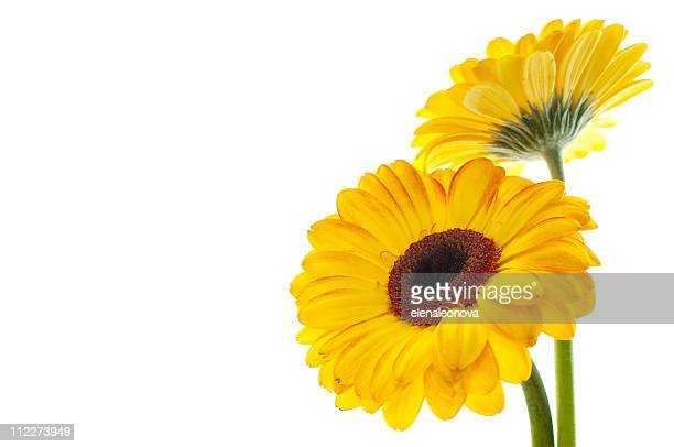 Two yellow flowers isolated on left side of picture
