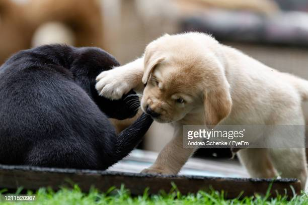 two yellow lab puppy playing on grass. one biting the others tail - category:cs1_maint:_others stock pictures, royalty-free photos & images