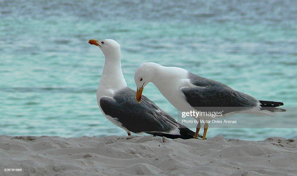 Two Yellow Legged Gulls : Foto de stock