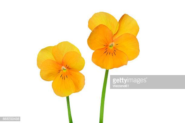 Two yellow orange violets in front of white background