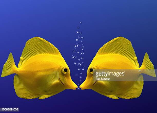 two yellow tangs, face to face (digital composite) - fish love stock photos and pictures