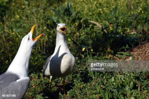 Two Yellowlegged Gulls cry near the Tamentfoust harbor east of the capital Algiers on March 19 2017 The Yellowlegged Gull only recently classified as...