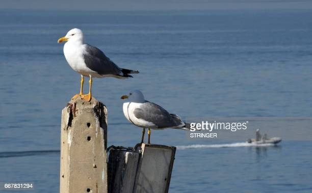 Two Yellowlegged Gulls perch on a light pole near the Tamentfoust harbor east of the capital Algiers on March 19 2017 The Yellowlegged Gull only...