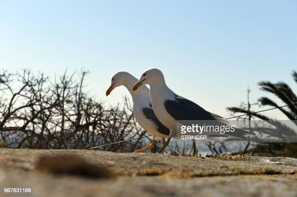 Two Yellowlegged Gulls walk near the Tamentfoust harbor east of the capital Algiers on March 19 2017 The Yellowlegged Gull only recently classified...