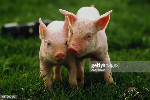 Two Yorkshire piglets (Sus sp.) in field