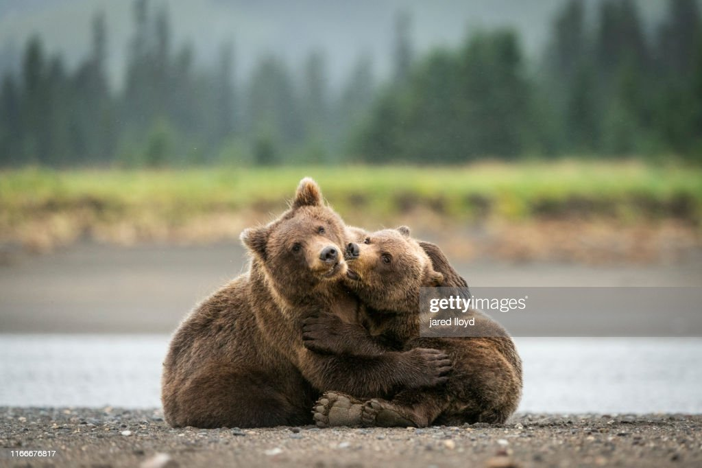 Two young Alaskan bear cubs playing : Stock Photo