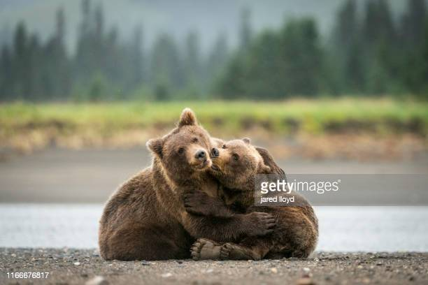 two young alaskan bear cubs playing - bear cub stock pictures, royalty-free photos & images