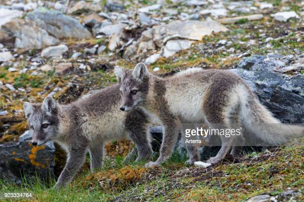 Two young Arctic foxes white fox polar fox snow fox foraging in rocky terrain on the tundra in summer
