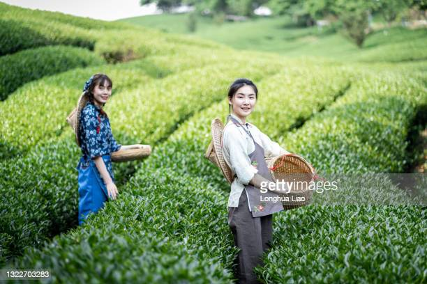 two young asian women pick tea in a tea plantation - china east asia stock pictures, royalty-free photos & images