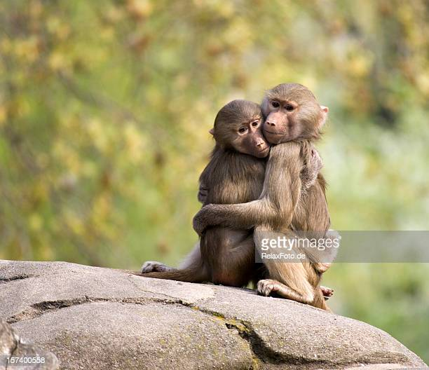 Two Young Baboons Hugging on Rock in Zoo