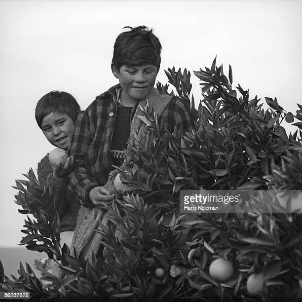 Two young boys stand atop a ladder and pick oranges from a tree, Peumo, O'Higgins Region, Chile, March 1, 1965.