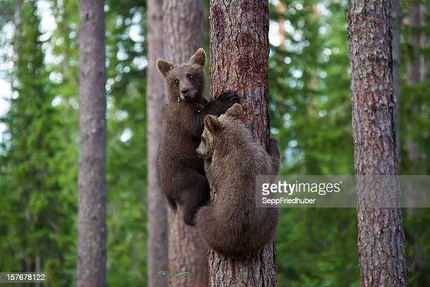 Two young brown bears climbing a tree