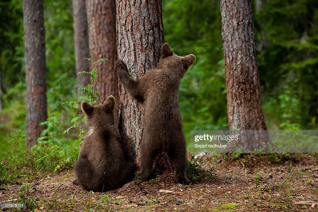 Two young brown bears hiding behind a tree : Stock Photo
