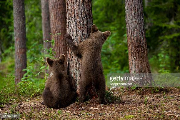 Two young brown bears hiding behind a tree