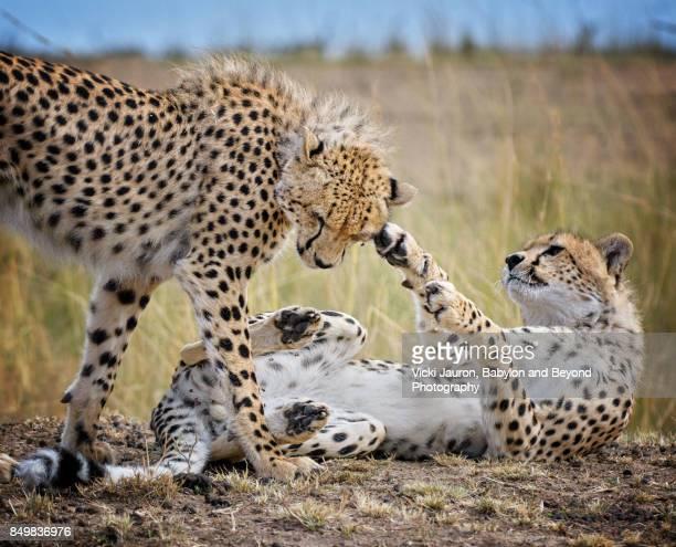 Two Young Cheetah Males Playing in Masai Mara, Kenya