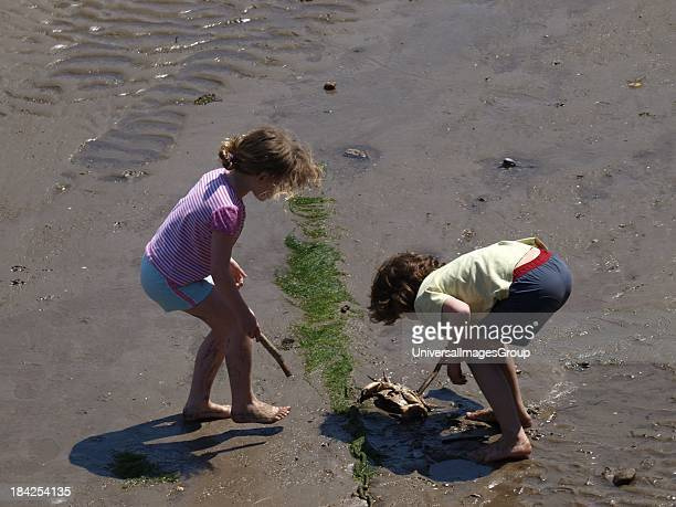 Two young children proding a dead crab with sticks at Ilfracombe harbour at low tide Devon UK