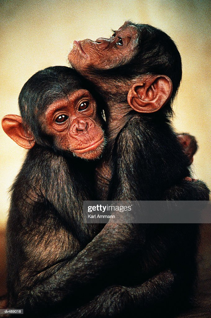 Two young Chimpanzees (Pan troglodytes) : Stock Photo