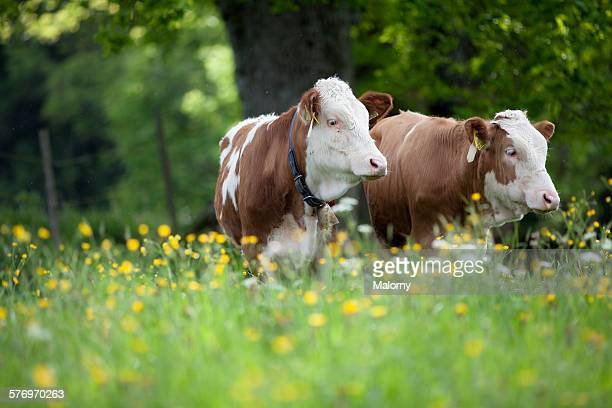 Two young cows on a beautiful alpine pasture