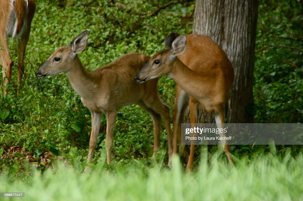 Two Young Deer : Stock Photo