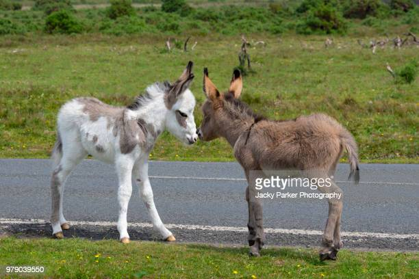 Two young Donkey Foals kissing in the new Forest National Park, Hampshire, England, UK