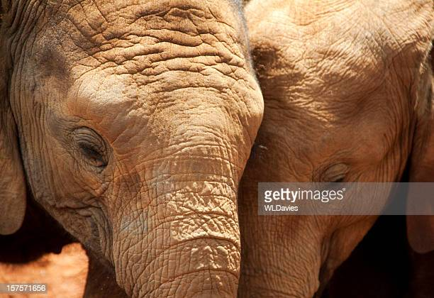 two young elephants - twee dieren stockfoto's en -beelden