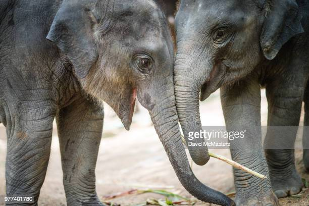 two young elephants playing together, chiang mai, thailand - asian elephant stock pictures, royalty-free photos & images