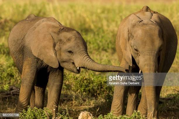 two young elephants together. - neus van een dier stockfoto's en -beelden
