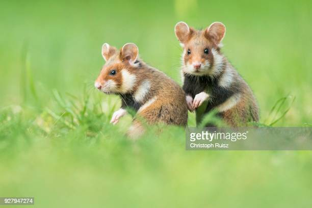 two young european hamsters (cricetus cricetus) sitting in meadow, natural habitat, young animal, wild animal, lower austria, austria - hamster stock-fotos und bilder