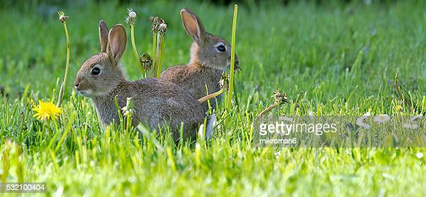 Two young European rabbits (Oryctolagus cuniculus) hiding in the grass, Europe