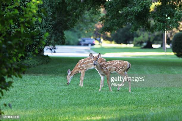 Two Young Fawn Whitetail Deer in Suburban Neighborhood Yard