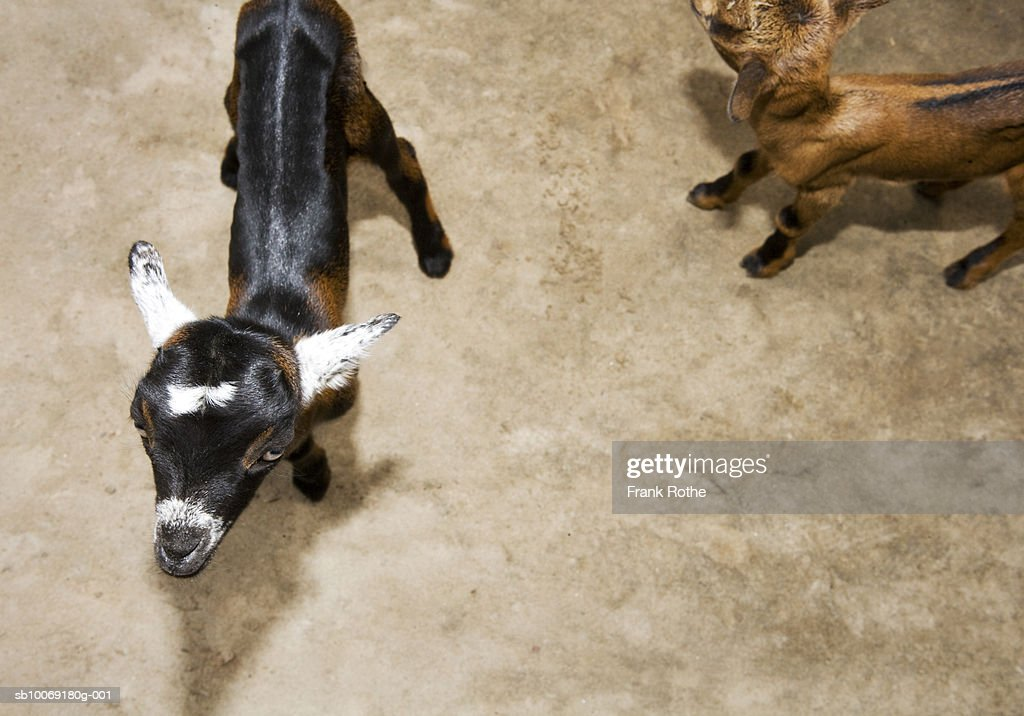 Two young goats walking, high angle view : Stockfoto