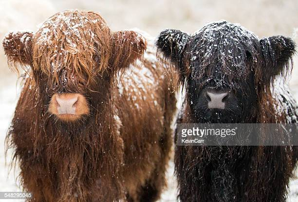 Two young highland cows covered in snow