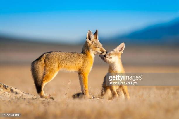 two young kit foxes on the grassland, salt lake city, utah, united states - nature stock pictures, royalty-free photos & images