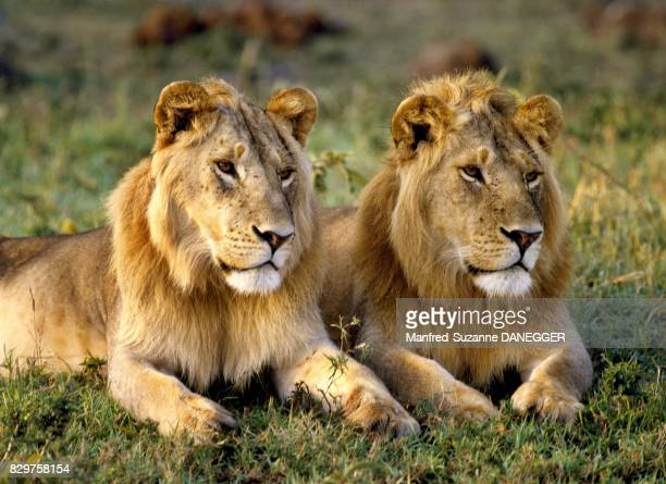 Two young lions in the Masai Mara National Park Kenya