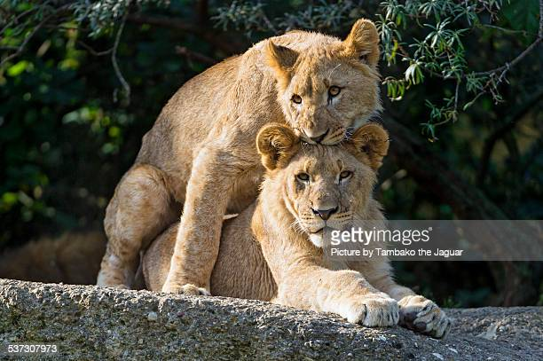 Two young lions learning to mate