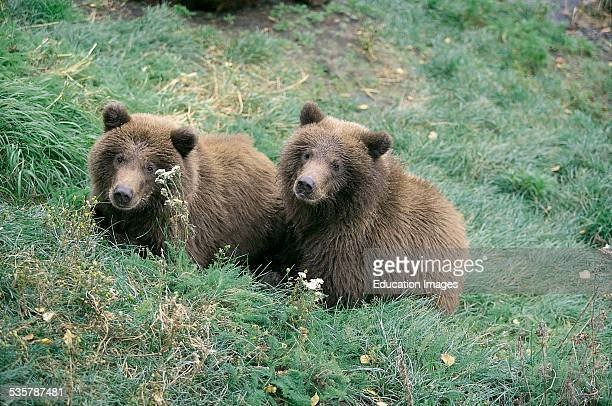 Two young Male Brown Bears Ursus arctos horribilis on the river bank Alaska The two little bears waiting for Mama Baer who fishes for salmon in the...