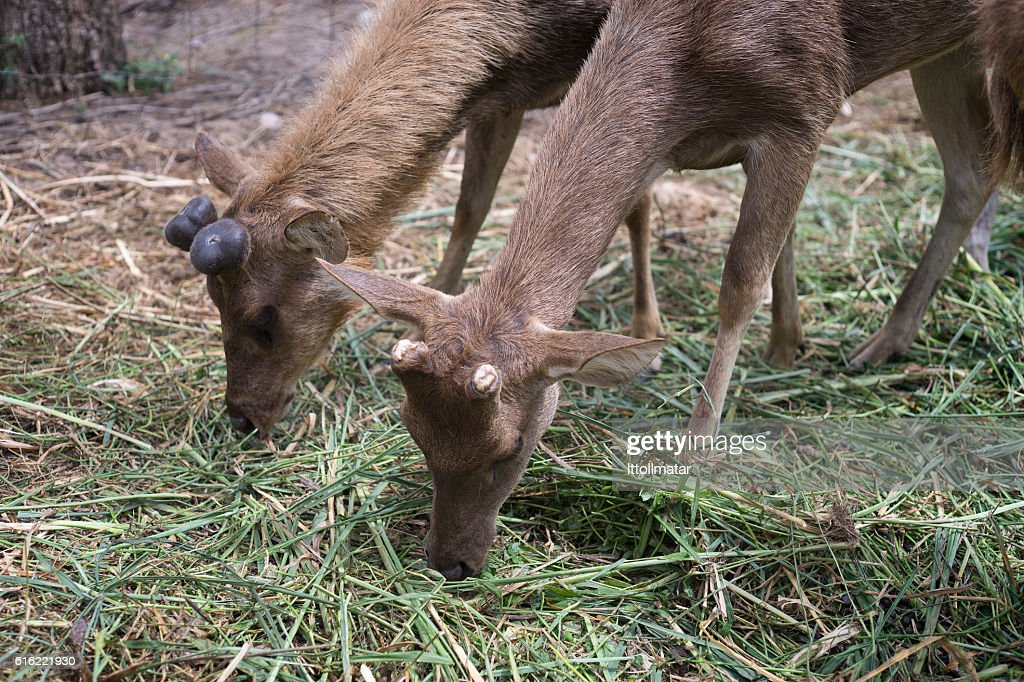 two young male deer grazing on grass field : Stock Photo