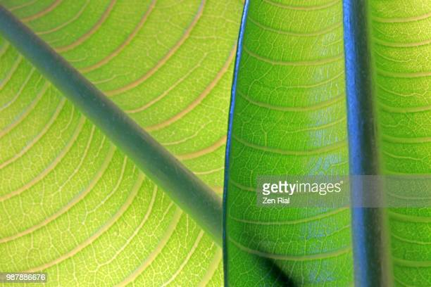 two young plumeria leaves backlit shows leaf veins and symmetry of it's natural patterns - photosynthesis stock photos and pictures