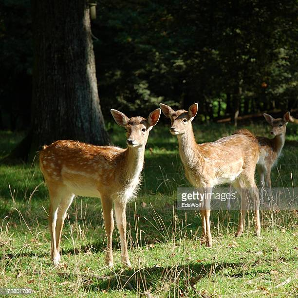 Two young roe deers in a forest