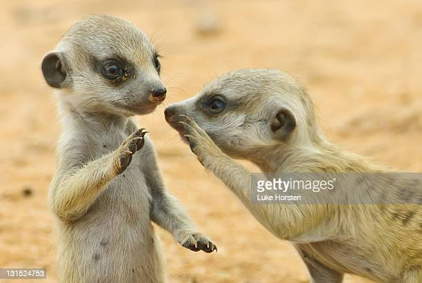 two young suricates - young animal stock pictures, royalty-free photos & images