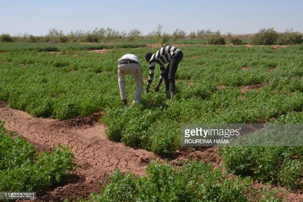 Two young Tuareg herders taking out weeds from their nursery at the site of the Irhazer project funded by France near Agadez, in the northern desert...